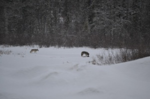 wolves on creek-1